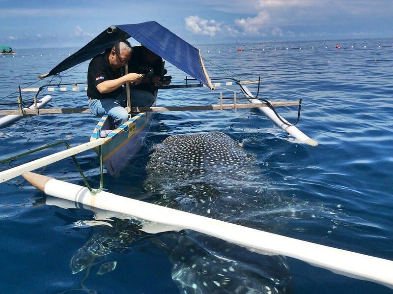 Gorontalo whale shark